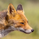 Red Fox attractive portrait - PhotoDune Item for Sale