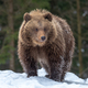 Wild brown bear cub closeup in forest - PhotoDune Item for Sale