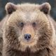 Close bear portrait - PhotoDune Item for Sale