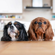 Two dogs behind the kitchen table - PhotoDune Item for Sale