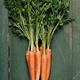 fresh carrot bunch - PhotoDune Item for Sale