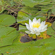 White Water Lily in the Lily Pads - PhotoDune Item for Sale