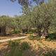 Olive Trees in the Garden of Gethsemane - PhotoDune Item for Sale