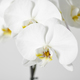 white orchid flower - PhotoDune Item for Sale
