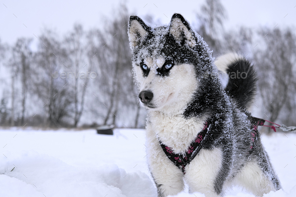 breed husky sled dogs - Stock Photo - Images