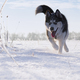 siberian Husky running - PhotoDune Item for Sale