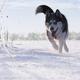 siberian Husky running - PhotoDune Item for Sale