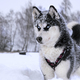 breed husky sled dogs - PhotoDune Item for Sale