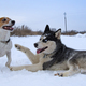 siberian husky and jack russell - PhotoDune Item for Sale