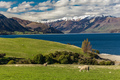 Sheep on a field near Lake Hawea with mountains in the backgroun - PhotoDune Item for Sale