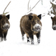 Wild boars in winter  - PhotoDune Item for Sale