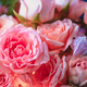 Peony roses and small flowers with an inner glow. Beautiful flower background close-up - PhotoDune Item for Sale