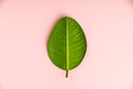 Ficus leaf on pink background, flat lay - PhotoDune Item for Sale
