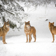 Wolves in winter - PhotoDune Item for Sale