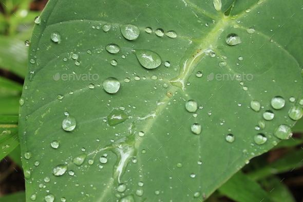 Fresh Leaf - Bigodi Swamps - Uganda - Stock Photo - Images
