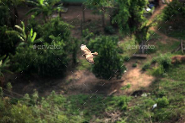 Yellow Billed Kite - Uganda, Africa - Stock Photo - Images