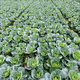 Cabbage rows in cultivation plot - PhotoDune Item for Sale