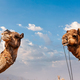 Camels in India - PhotoDune Item for Sale