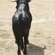 Fighting bull in the arena. Bullring. Toro bravo. Spain. Vertical - PhotoDune Item for Sale