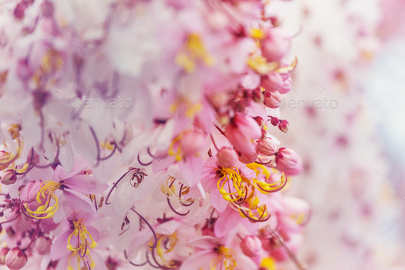 Blossoming cassia - Stock Photo - Images