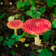 Two mushroom fly agaric - PhotoDune Item for Sale