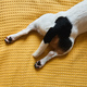 Dog Jack Russell lies on the bed - PhotoDune Item for Sale