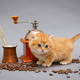 Red British kitten and coffee - PhotoDune Item for Sale