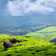 Green tea plantations in Munnar, Kerala, India - PhotoDune Item for Sale