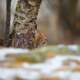 Young eurasian lynx lurking in the forest at early winter - PhotoDune Item for Sale