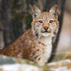 Eurasian lynx sitting in the forest at early winter - PhotoDune Item for Sale