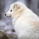 Beautiful arctic fox in white winter coat sitting - PhotoDune Item for Sale