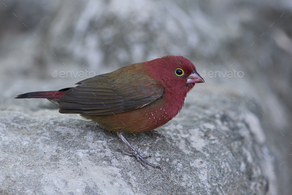 Red-billed firefinch (Lagonosticta senegala) - Stock Photo - Images