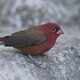 Red-billed firefinch (Lagonosticta senegala) - PhotoDune Item for Sale