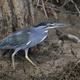 Striated heron (Butorides striata) - PhotoDune Item for Sale