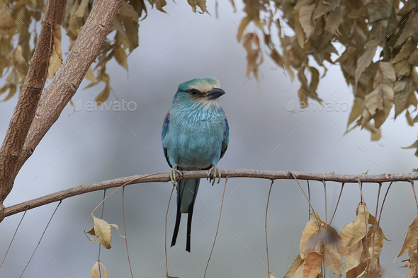 Abyssinian roller (Coracias abyssinicus) - Stock Photo - Images