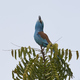 Abyssinian roller (Coracias abyssinicus) - PhotoDune Item for Sale