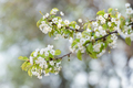 White cherry flowers on spring time - PhotoDune Item for Sale
