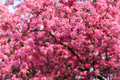 Pink sakura flowers on spring cherrys twigs - PhotoDune Item for Sale