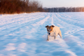 White jack russel terrier puppy on snowy field - PhotoDune Item for Sale