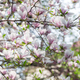 Pink magnolia flowers on spring twigs - PhotoDune Item for Sale