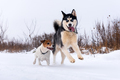 Siberian husky and jack russel terrier - PhotoDune Item for Sale