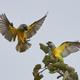 Senegal parrot (Poicephalus senegalus) - PhotoDune Item for Sale