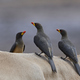 Yellow-billed oxpecker (Buphagus africanus) - PhotoDune Item for Sale