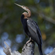 African darter (Anhinga rufa) - PhotoDune Item for Sale