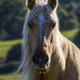 Portrait of a yellow horse - PhotoDune Item for Sale