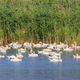white swans on lakewhite swans on lake - PhotoDune Item for Sale