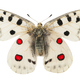 Apollo butterfly (Parnassius apollo) - PhotoDune Item for Sale