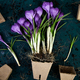 Gardening. Peat pots, crocus flower and  young seedlings. spring - PhotoDune Item for Sale