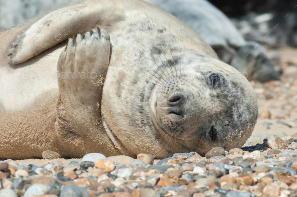 sleeping seal pup - Stock Photo - Images