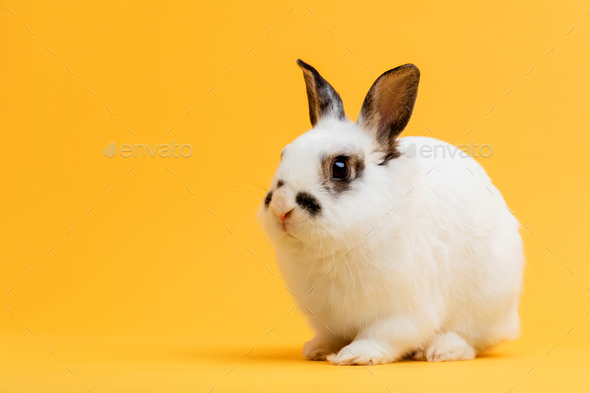 Little bunny sitting on yellow background. - Stock Photo - Images
